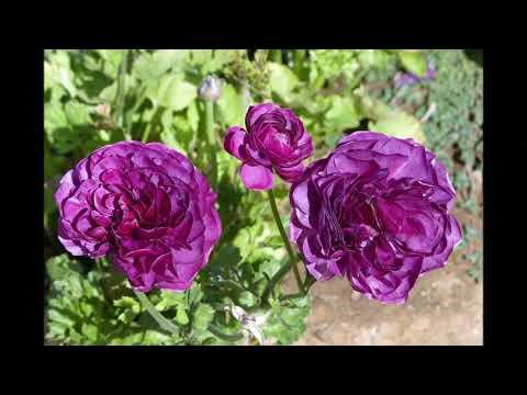 Carlsbad Flower Fields 2018