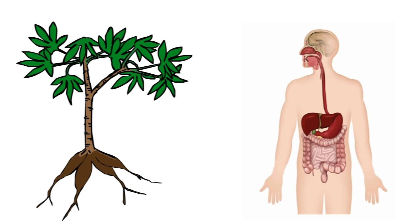 Klasifikasi dan morfologi tanaman Singkong Manihot utillisima
