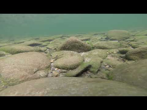 Edited Video 79 Redline darter courting and male aggression