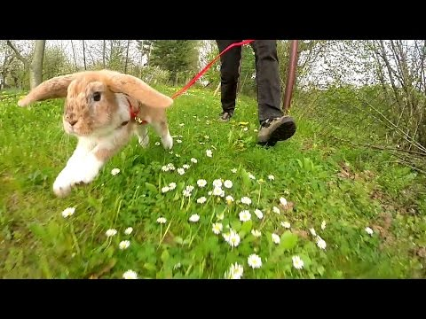 Mitsie Run - one happy bunny running with a leash (slow motion)