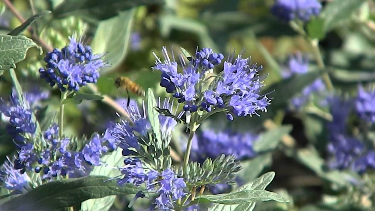 caryopteris clandonensis 39 heavenly blue 39 youtube. Black Bedroom Furniture Sets. Home Design Ideas
