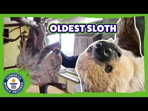 Oldest sloth in the world! - Guinness World Records