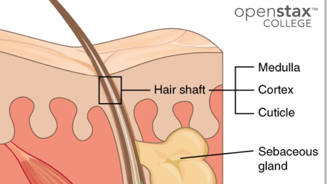 05e Integumentary System Hair And Nails Youtube
