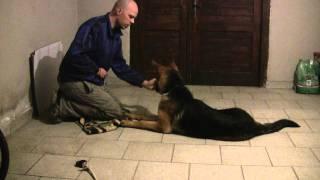 Reks (Nemški ovčar) German shepherd: V...