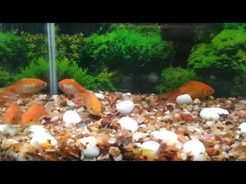 Goldfish Laying On The Bottom Of The Tank.