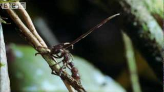 Cordyceps: attack of the killer fungi - Planet Earth Attenborough BBC wildlife thumbnail