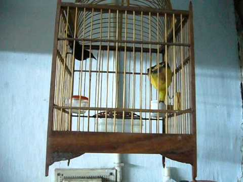 Chim ốc mít bông 0922612000
