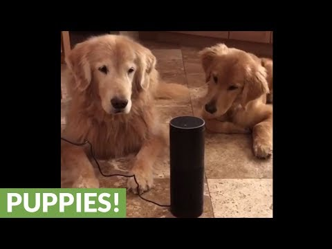 Puppy super confused by barking Christmas music