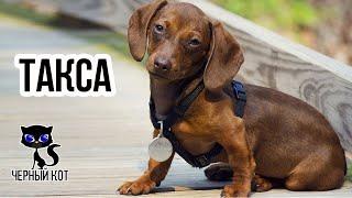 Таксы / Интересные факты о собаках
