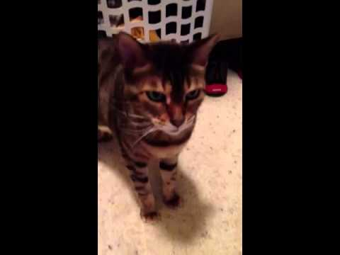 Bengal cat's reaction to new kitten