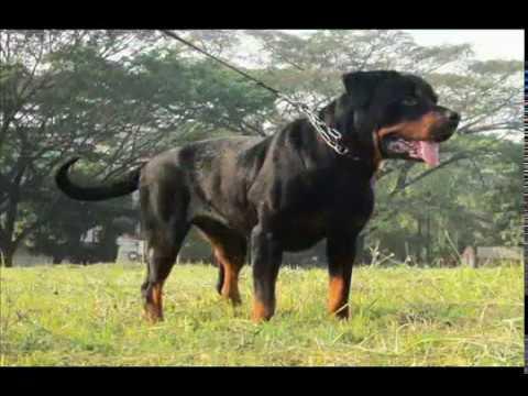 jon-marlo-rottweiler-ipo-3-indonesia