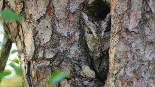 Through the Lens: Eastern Screech-Owl Camouflage