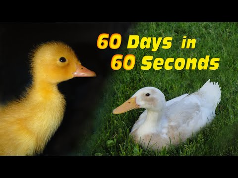 Duckling to Duck in 60 Seconds