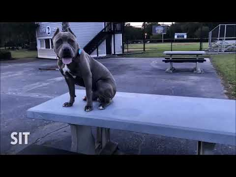 dream,-8-month-old-xl-pit-bull,-before-and-after-obedience-training-video