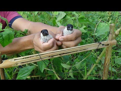 membuat Jebakan burung kutilang umpan jangkrik dalam bambu