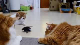 【マンチカンズ】猫がゴキブリロボを追って暴走 ~cats VS a  robotic cockroach ~ thumbnail