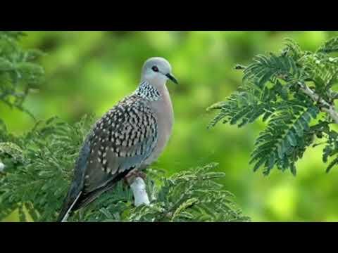 Tiếng Chim Cu Gáy , Cu Cườm Bẫy Lưới Úp Đất Tiếng Chuẩn 2018 - Phiên Bản Thái Lan Miễn Phí -