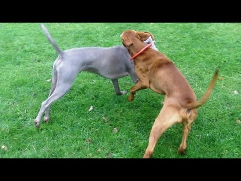 Vizsla & Weimaraner Archie & Sebastian fooling around.