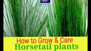 How to Grow & Care Horsetail plants