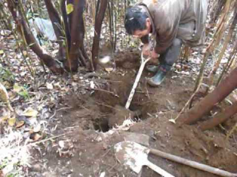 自然薯 掘り