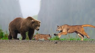 Video Amazing Mother Puma Protect Her Baby From Grizzly Bear Hunting download MP3, 3GP, MP4, WEBM, AVI, FLV Oktober 2018
