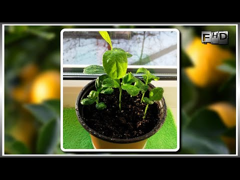 .:🍋:. Как вырастить лимонное дерево из косточки в домашних условиях - (часть 2)