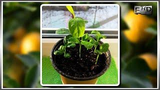 """Как вырастить дома лимон из косточки (часть-2) """"Появление первых ростков"""""""