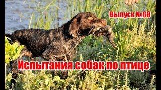 Испытания собак по птице, выпуск №68 (RUS)