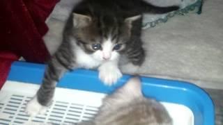 продажа шотландских котят, Казахстан. г. Павлодар.
