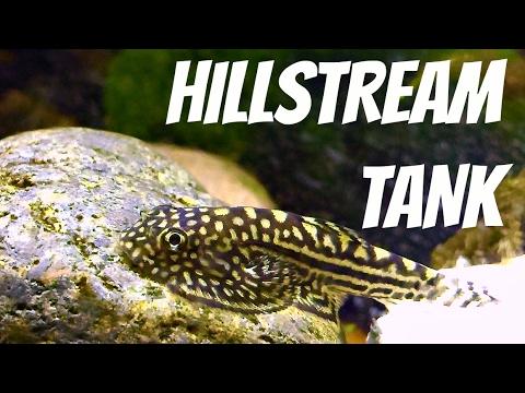 Subtropical Hillstream Tank - Hillstream Loaches, Panda Garra, White Clouds, shrimp
