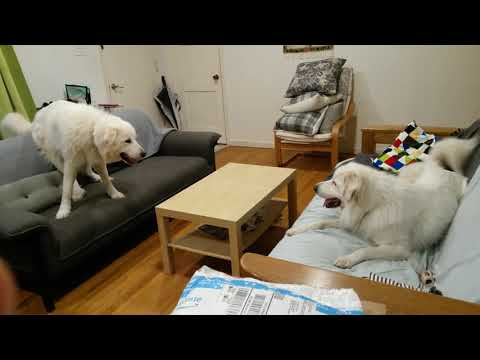 Great Pyrenees - couch duel