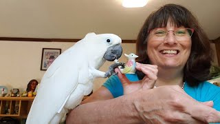 Cockatoo gets surprise lesson while learning to use whistle