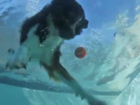 Nevada the Diving Dog