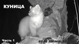 Куница: супер видео с фотоловушки (часть 1). Охотится, бежит от енотовидных собак. Ласка куны