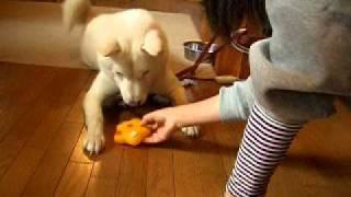 新しいピーピーおもちゃのプレゼントに大喜びの北海道犬のソラです。