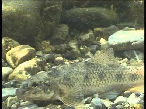 st r karpfen gr ndlinge und goldfische im teich gart