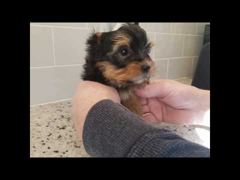 Morkie / Yorkie Instructional Video! How To Tip Ears, Tape Ears, Shave Bottom, Paw Pads And More