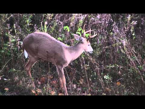 White-Tailed Buck Pops Pimple