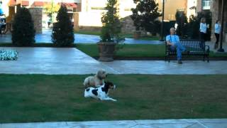Dallas Dog Training | Redeeming Dogs | Darby The Wheaton Terrier With Sprite | Tod Mcvicker