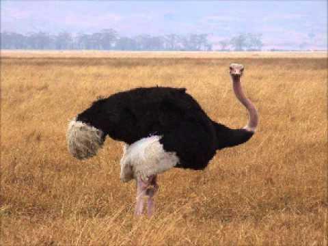 Ostrich Booming Sound