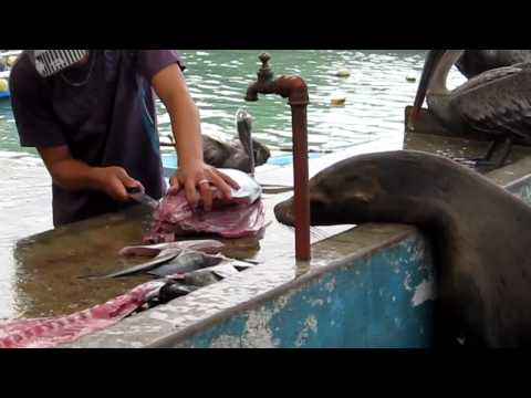 Sea Lions And Pelicans Shopping At A Fish Market In Galapag