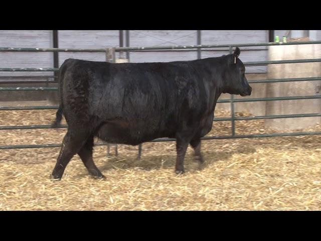Schiefelbein Angus Farms Lot 385