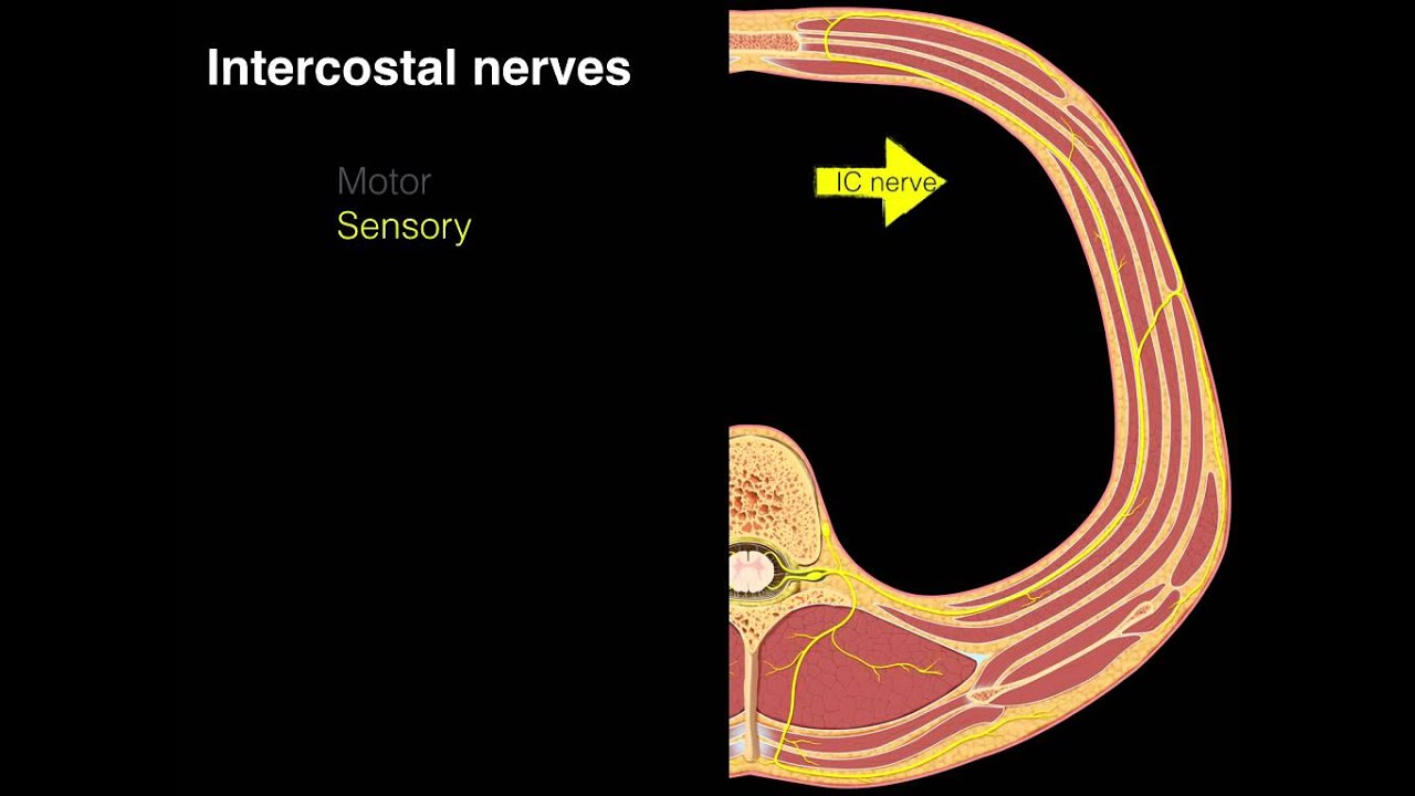 Intercostal nerves - YouTube