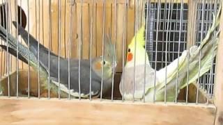 Кореллы.  Приобрел новых птиц.