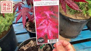 季节性临时花店-特色木本植物和价格Heavenly Bamboo, Japanese Maple, Burning Bush, Ninebark, Black Lace Elderberry
