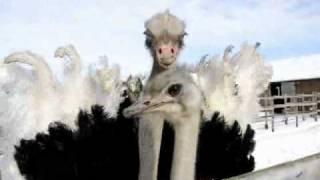 Забавные страусы
