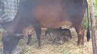 Nuôi bò sinh sản, cách chăm sóc, bò mẹ, bê con, trước và sau sinh.NÔNG DÂN TV