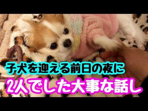 【チワワお迎えシリーズ】Vol.1  新しい家族を迎えに行く前日の夜に先住犬と話した会話【chihuahua】