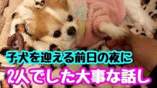 【puppy dog】新しい家族を迎えに行く前日の夜に先住犬と話した会話【かわいい犬】【chihuahua】【cute dog】【ペット動画】