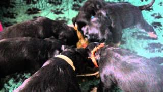 Zionzur Miniature Schnauzer Puppies At Four Weeks Old